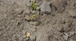 Zimna wiosna. Kiedy siać kukurydzę - flint i dent?
