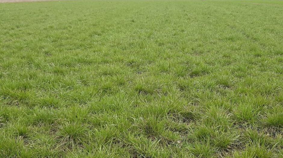 W płodozmianie uprawiane są też trawy. fot. WG.