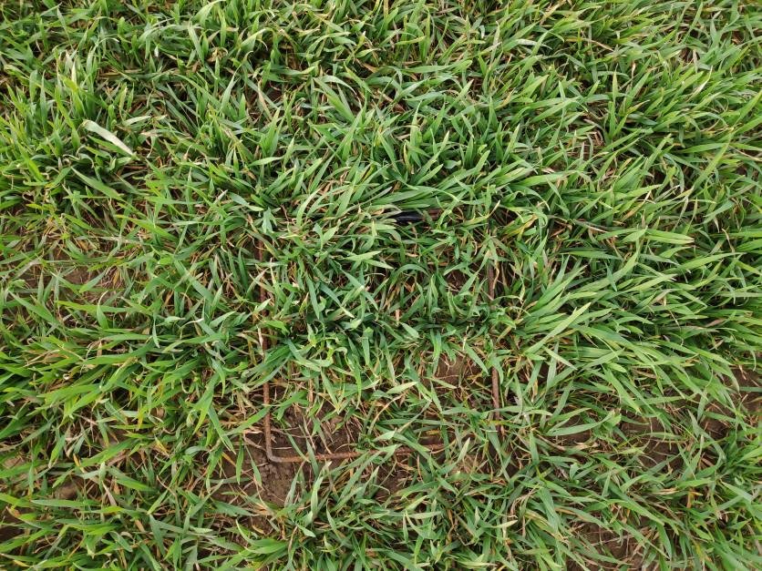 Rolnik zdecydował się na wysianie 150 kg/ha nasion.