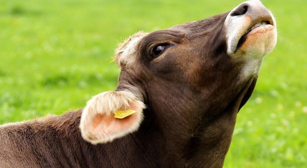 """Kiedy utrzymanie krowy w """"Dobrostanie"""" kosztuje 10 tysięcy za dobę?"""
