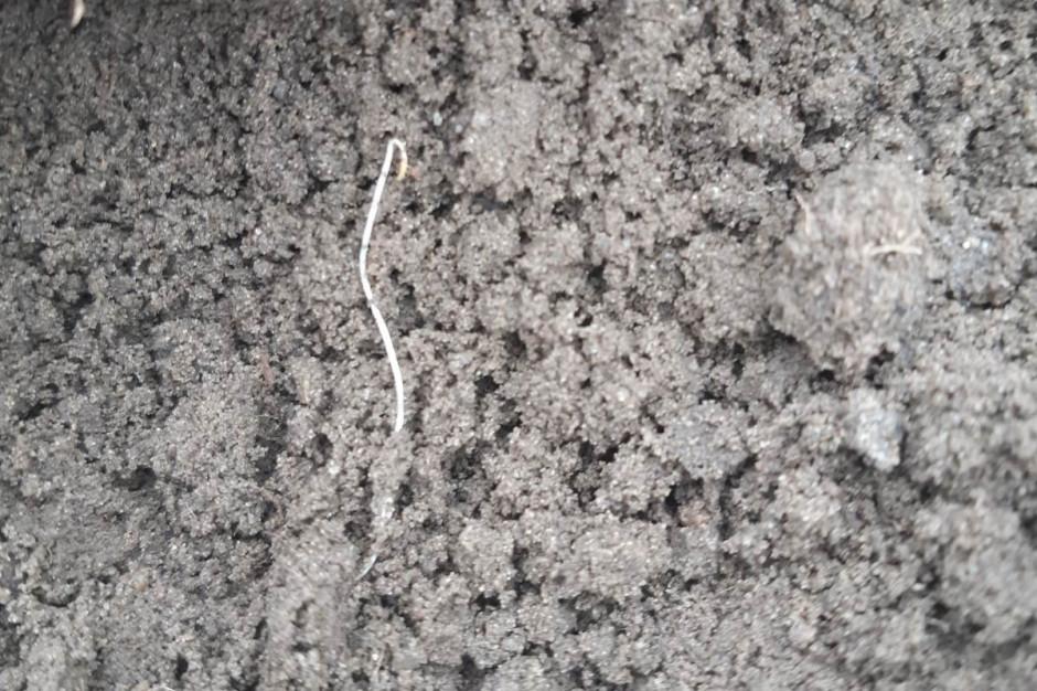 Młode siewki chwastów są już widoczne na plantacjach buraka cukrowego Fot. A. Kobus