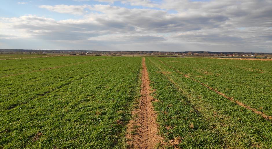 Sprawdzamy stan plantacji pszenżyta ozimego w woj. świętokrzyskim