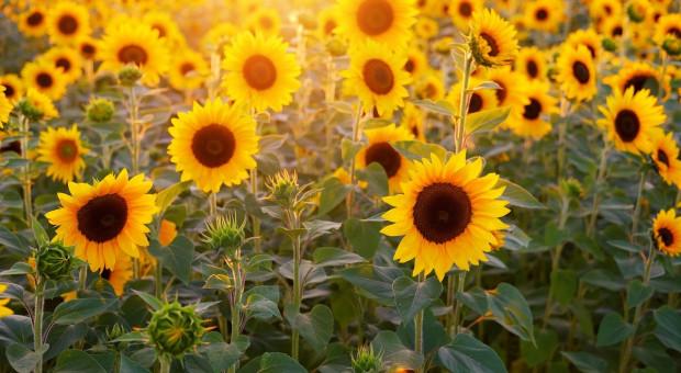 Ukraina planuje zwiększyć produkcję słonecznika w 2021 roku