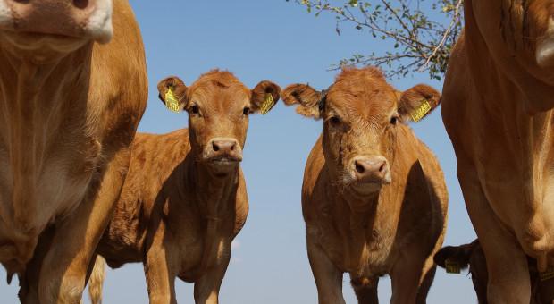 Duże różnice cen bydła w UE to tylko jeden z problemów sektora wołowiny