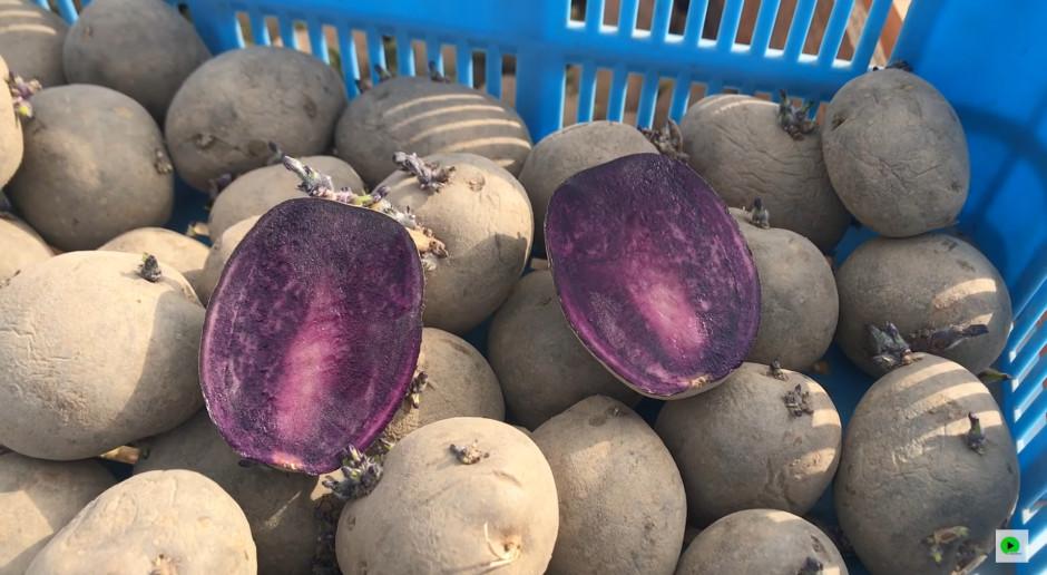 Na Podlasiu sadzą fioletowe ziemniaki