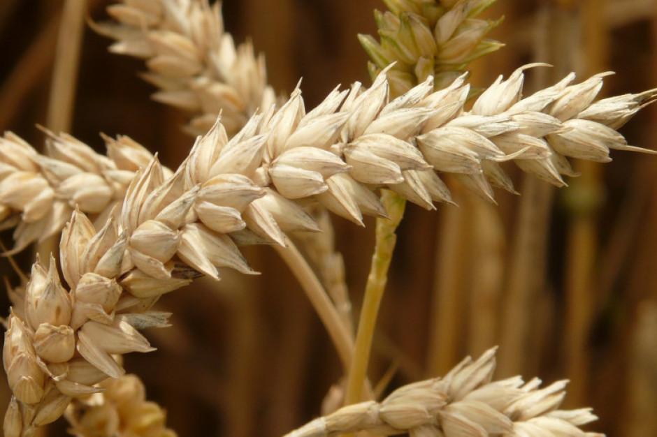 Ogromne wzrosty cen zbóż i nowe szczyty notowań