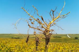 Bakterie brodawkowe a mikroelementowe nawozy nasienne