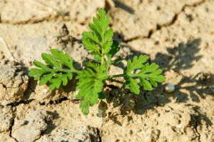 We wczesnej fazie wzrostu ambrozję bylicolistną można pomylić z bylicą pospolitą, jednak później staje się ona łatwa do odróżnienia