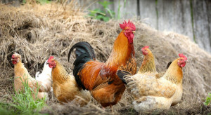 Grypa ptaków pod Elblągiem - winne kury z powiatu żuromińskiego