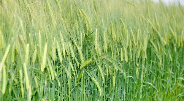 Zabieg T-3 wuprawie zbóż toważny krok wwalce oplon
