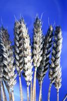 Objawy czerni zbóż