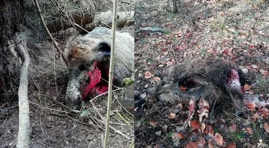 Kto posprząta padłe dziki? Kruki krążą nad lasem…