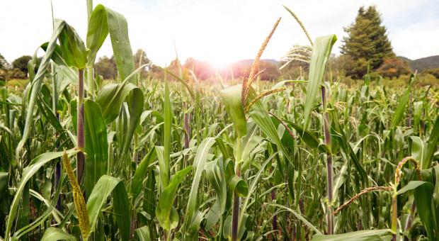 Monsanto kwestionuje zakaz stosowania glifosatu w Meksyku