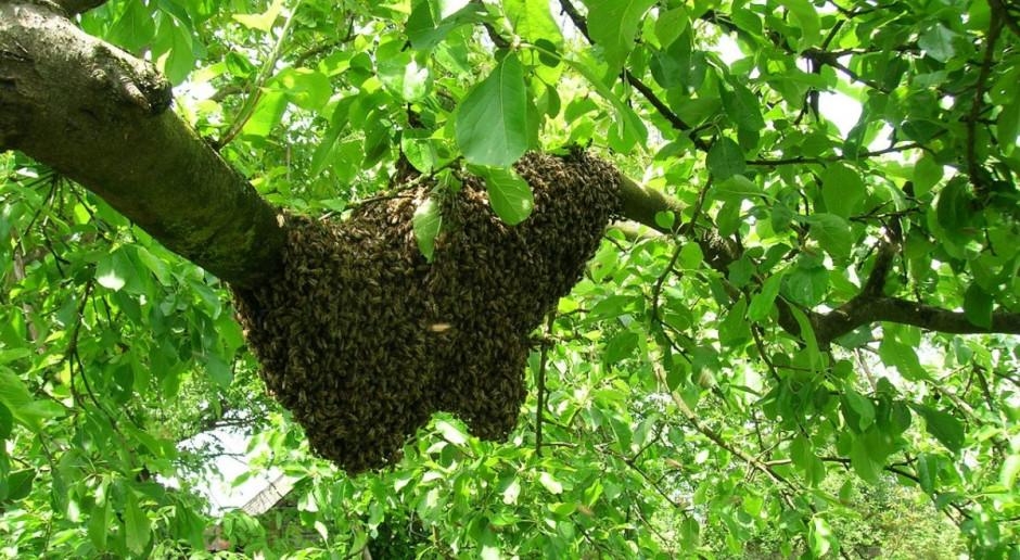 Rój pszczół zabił człowieka