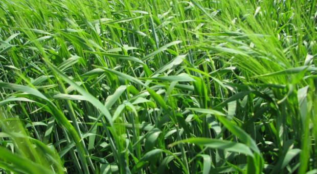 Jak uzyskać wysoką jakość ziarna jęczmienia browarnego?