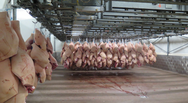 Polski żywiec bez szans wobec taniej wieprzowiny z Belgii