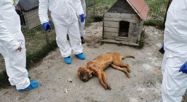 Na terenie pseudo hodowli odkryto zwłoki ponad 250 psów