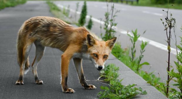 Małopolska: od 7 maja szczepienie lisów przeciw wściekliźnie
