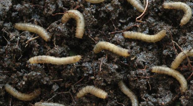 """Rada UE uznaje larwy chrząszcza za jedzenie. To """"nowa żywność"""""""