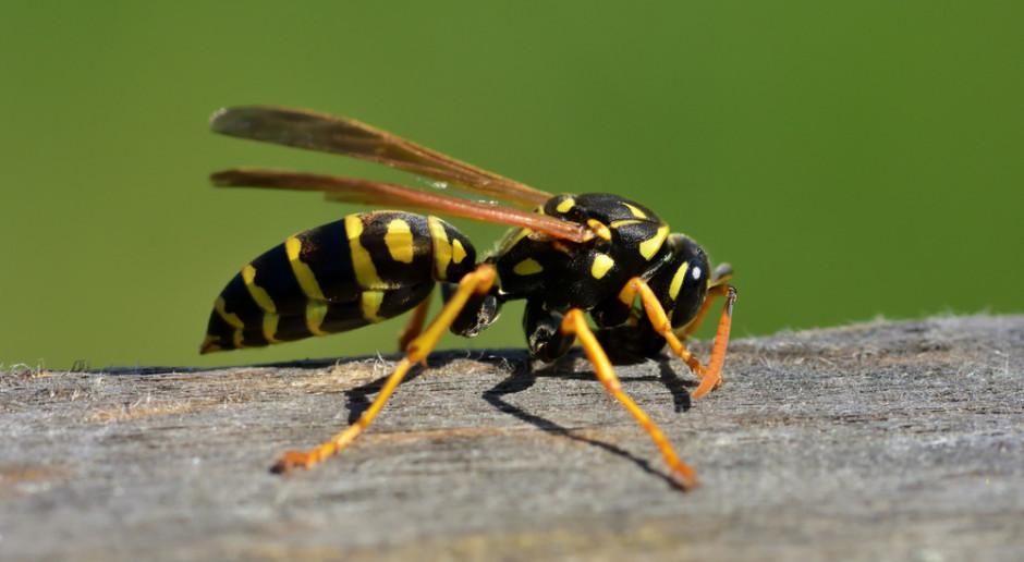 Naukowcy: Osy są tak samo wartościowe dla środowiska, jak pszczoły