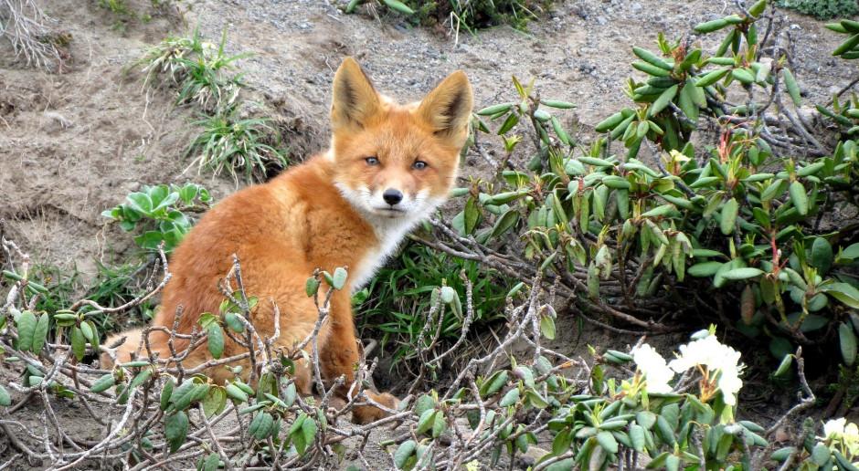 Kolejne przypadki wścieklizny u lisów na Mazowszu