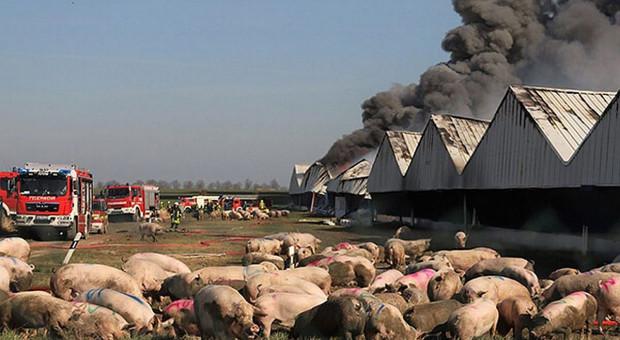 Ze spalonych chlewni w Alt Tellin wywieziono padłe świnie