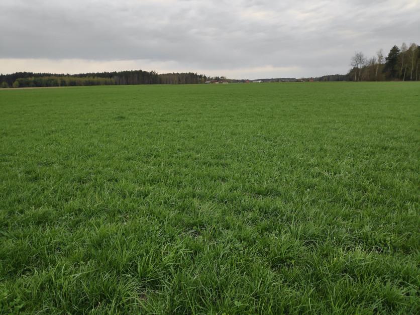 Na tym użytku zielonym zabrakło traw niskich i średnich, przez co po wypadnięciu z runi rośliny osłonowej darń jest mało zwarta i pozostawia miejsce do rozwoju chwastów Fot. SD