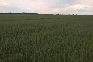 Nowe szczyty cen zbóż na świecie