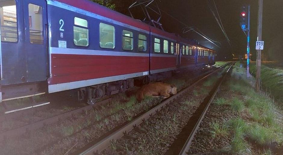 Krowy wpadły pod pociąg, jedna uwięziona na torowisku