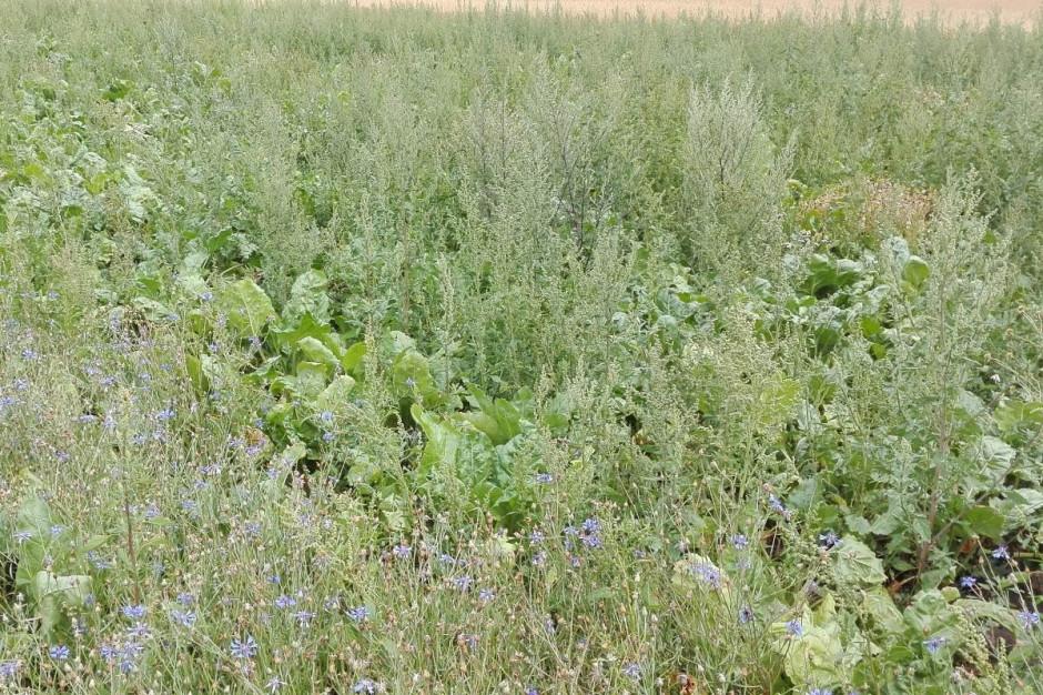 Co roku bez problemu można znaleźć plantacje na których poprzez zastosowanie herbicydów niskiej jakości, w niewłaściwych dawkach, bez użycia właściwego adiuwanta lub z powodu opóźnienia wykonania zabiegów, komosa biała zdominowała plantację buraków Fot. AK
