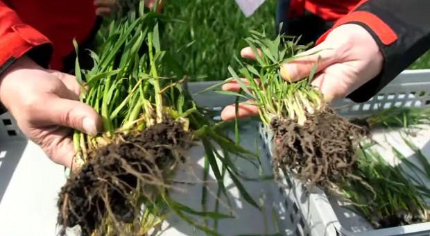 Stan pszenicy i jęczmienia z siewów w 3 terminach