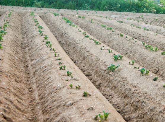 Redliny w ziemniaku