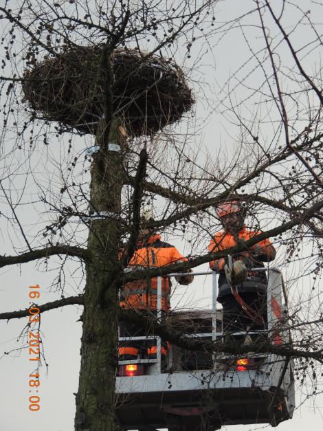 Marzec - instalacja gniazda bocianiego na modrzewiu, fot. Pan Krzysztof