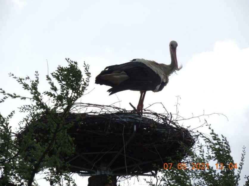 Maj - bocian na gnieździe, fot. Pan Krzysztof
