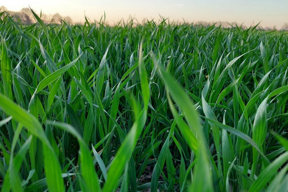 Pszenice siane po kukurydzy i burakach potrzebują solidnej ochrony ale też i dokarmiania dolistnego Fot. KB