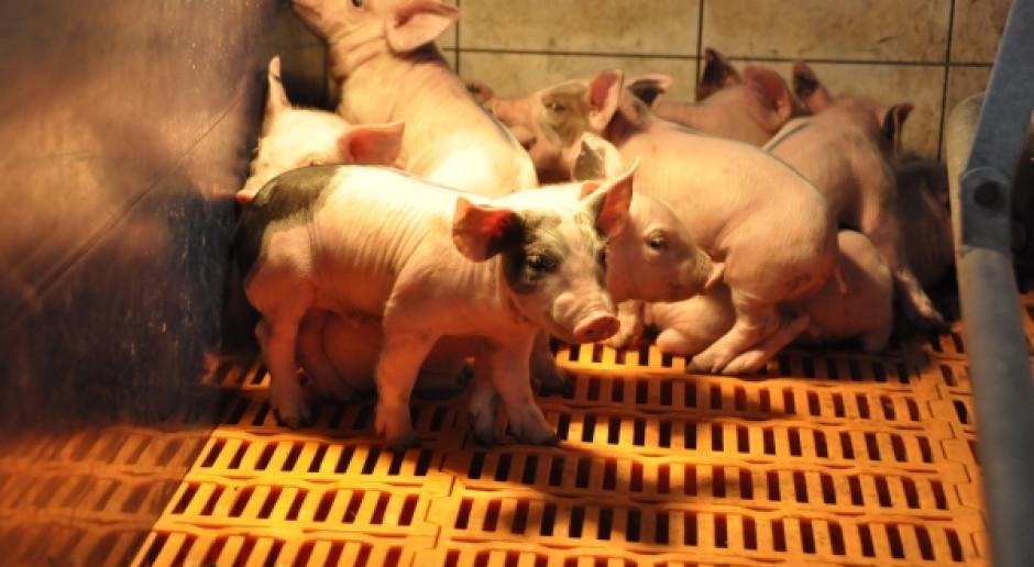 Hodowcy świń - nie tylko pod presją rynku, ale i niemerytorycznych argumentów