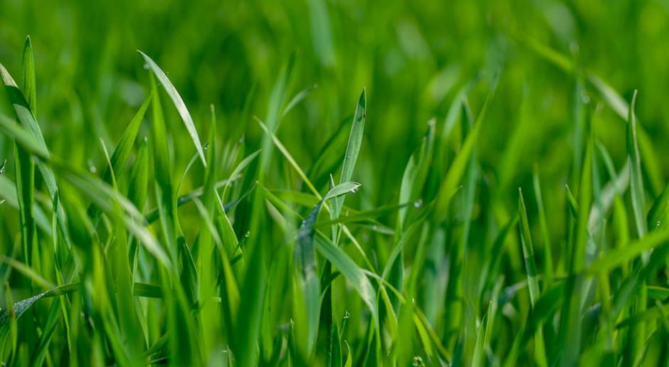 Prof. Grzebisz radzi w sprawie dokarmiania dolistnego zbóż