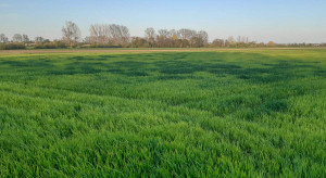 Mocznik w nawożeniu dolistnym – jakie stężenie dla zbóż?