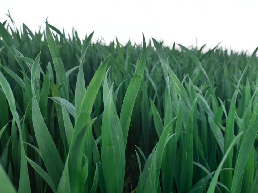 Wzrost temperatury i stosunkowo dobra wilgotność gleby sprawiły, że nareszcie zboża nabierają typowej barwy, co należy wiązać z tym, że wreszcie pobierają sprawnie składniki pokarmowe Fot. A. Kobus