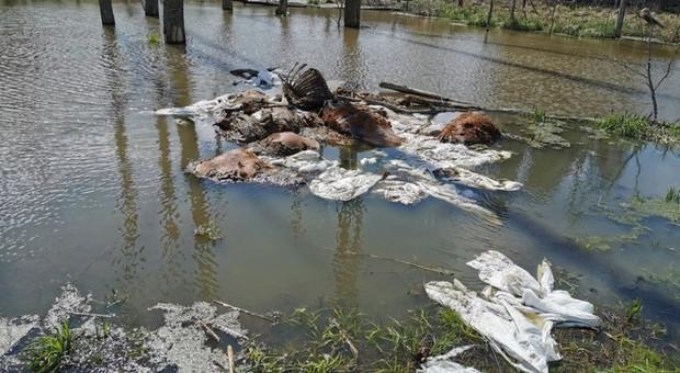 Padłe krowy wyrzucone w lesie