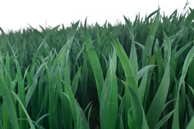 Wyraźna poprawa kondycji zbóż, jednak nie wszędzie. Dlaczego?