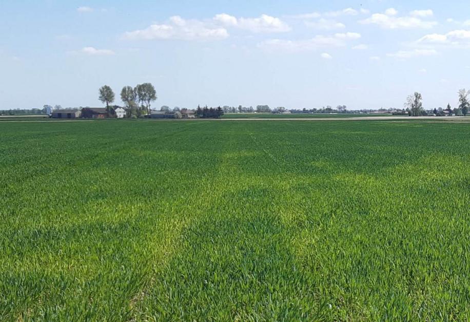 Niskie pH oraz chłodna wiosna oznacza słaby rozwój systemu korzeniowego oraz słabą dostępność składników pokarmowych Fot. A. Kobus