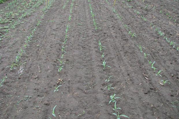 Zwalczanie chwastów przedwschodowo w kukurydzy