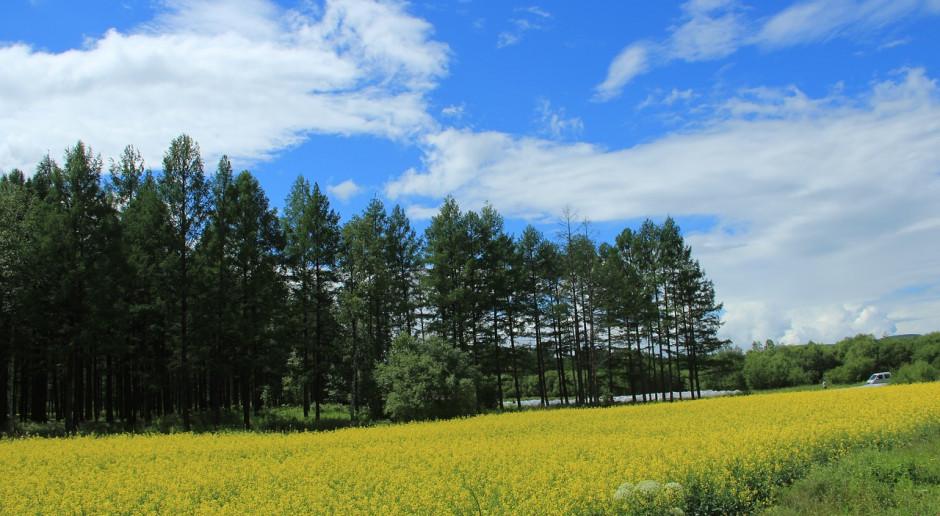 Kanada: Mniejsze zapasy nasion rzepaku
