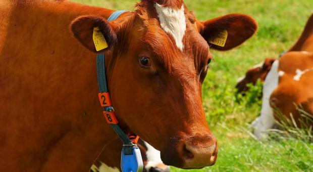 Krowa wpadła pod pociąg, bo straszyły ją nastolatki
