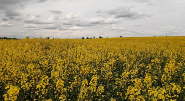 Rzepak kwitnie – są opady – zabiegi na płatek okazać się mogą kluczowe w ochronie