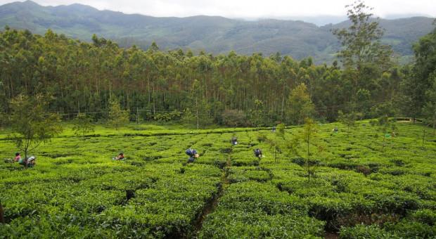 Rosja: Pandemia Covid-19 w Indiach grozi wzrostem cen herbaty w Rosji