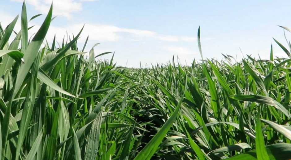 Opóźniona wegetacja, co z terminem zabiegu T-2 w pszenicy?