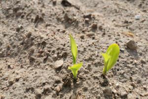 Opóźnione siewy kukurydzy, ale szybkie wschody