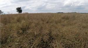 Panorama Pól Timac Agro - nawożenie rzepaku